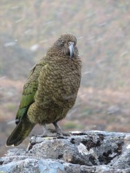The New Zealand Kea is the cheekiest bird you'll ever meet, and worth a visit with your car rental!