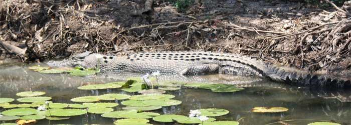 yellow-water-crocodile