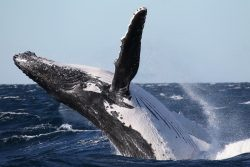 Whale breaching NSW. Photo courtesy of Wild About Whales